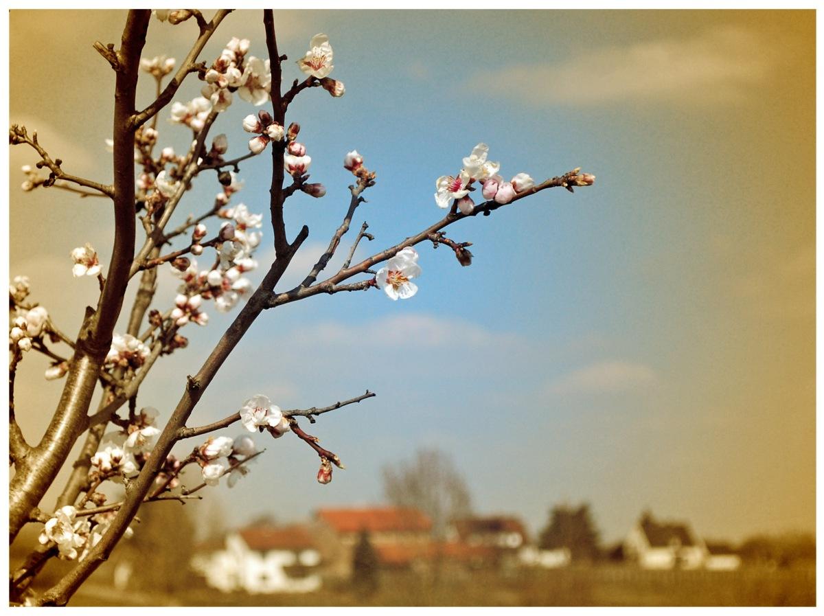Mandelblüte vor der Haustür - Kleine Familienwanderung auf dem Pfälzer Mandelpfad